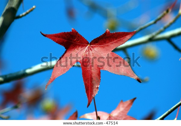 A lone scarlet red maple leaf against a brilliant blue sky