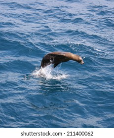 A lone sea lion puts on a jumping show  for my camera