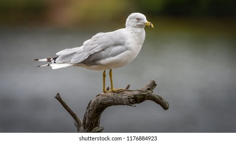 Lone seagull isolated on a tree branch