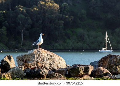 A lone seagull standing on a rock by the bay with a sailboat in the background at sunset.