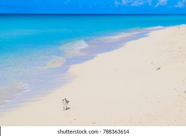 A lone seagull strolls a beautiful and abandoned sandy beach on the Bahamian island of North Bimini