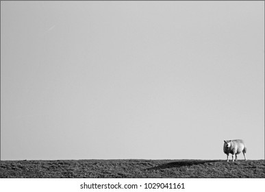A lone sheep against the background of an endless sky. Black-and-white picture.