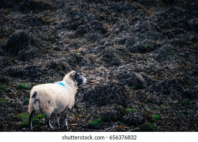 Lone Sheep on a Blanket of Seaweed by the Beach