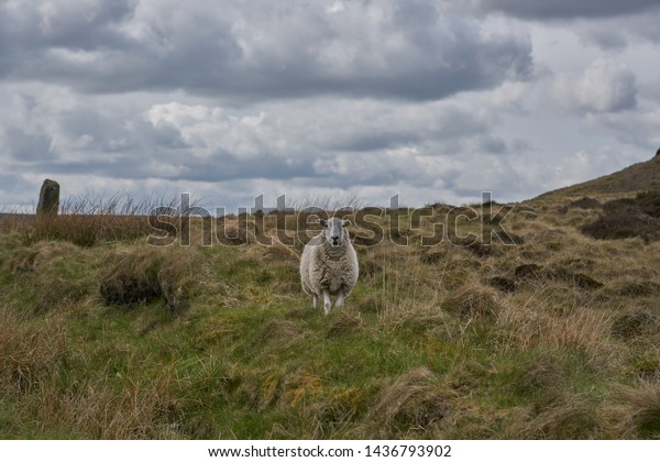 A lone sheep on a Yorkshire moor
