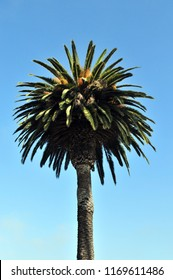 Lone singular palm tree stands tall against a blue sky