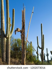 A lone skeleton is still standing tall amongst other saguaros in the Sonoran Desert.