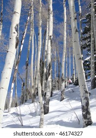 Lone skier weaves her way through bare winter aspens   Steamboat Springs,  Colorado