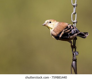 A lone sparrow hanging on a chain