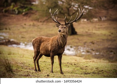 Lone Stag at Bradgate Park, Leicestershire