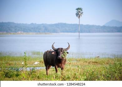 A lone Surti water buffalo (Bubalus bubalis) stands in green wetlands area, with lake background in Minneriya National Park, Sri Lanka