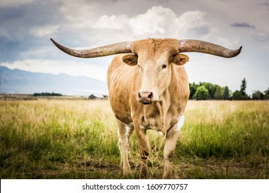 A lone Texas Longhorn in the beautiful open range country of Idaho during a cloudy summer evening