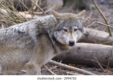 Lone timber wolf breaks from pack to investigate