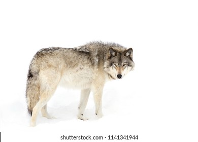 A lone Timber wolf or Grey Wolf Canis lupus isolated on white background standing in the winter snow in Canada
