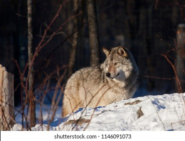 A lone Timber wolf or Grey Wolf  (Canis lupus) in the winter snow in Canada