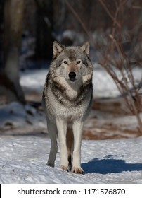 A lone Timber wolf or Grey Wolf Canis lupus standing in the winter snow in Canada