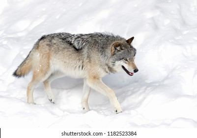 A lone Timber Wolf or Grey Wolf (Canis lupus) isolated on white background walking in the winter snow in Canada