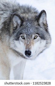 A lone Timber Wolf or Grey Wolf (Canis lupus) isolated on white background standing in the winter snow in Canada