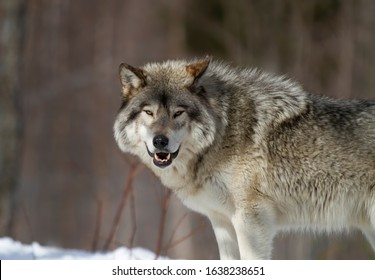 A lone Timber Wolf or Grey Wolf Canis lupus walking in the winter snow looking at camera in Canada