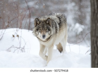 A lone Timber wolf or Grey Wolf Canis lupus walking in the falling winter snow in Canada
