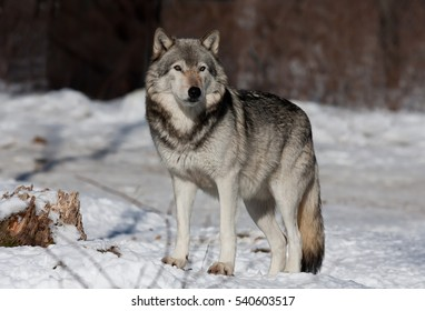 A lone Timber wolf or Grey Wolf (Canis lupus) standing in the winter snow in Canada