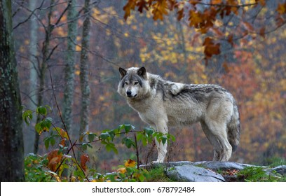 A lone Timber wolf or Grey Wolf (Canis lupus) on top of a rock looks back on an autumn rainy day in Canada