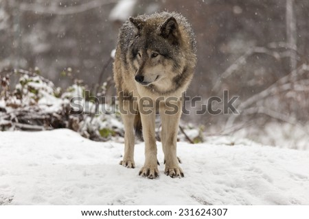 Lone Timber wolf in a winter scene