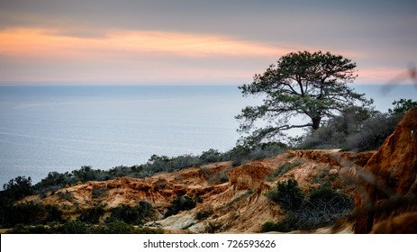 A lone Torrey Pine tree stands a hill in front of the Pacific ocean in La Jolla, California