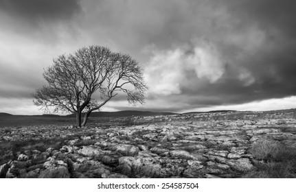Lone tree above Malham Cove, Yorkshire Dales