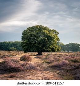 Lone tree among the heaths