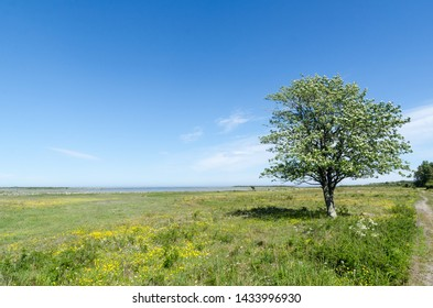 Lone tree in a beautiful green and bright coastland by springtime in a swedish nature reserve by the coast of the Baltic Sea at the island Oland