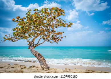 Lone tree by the beach as waves from the blue aqua turquoise ocean come ashore, in Negril, Jamaica.