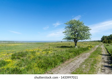 Lone tree by a dirt road in a beautiful coastland by springtime in a swedish nature reserve by the coast of the Baltic Sea at the island Oland