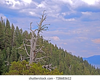 A lone tree devoid of foliage rises above the conifer forest over Emerald Cove, by Lake Tahoe.