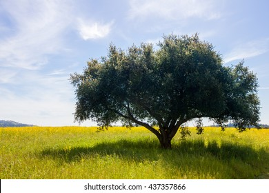 Lone tree in a field with soft clouds in a blue sky. Lush green single tree in a field of yellow mustard flowers. Wispy clouds in the background. Serene, tranquil, happy scenery.