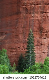 Lone tree in front of sandstone cliff wall in Zion National Park