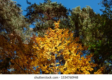 A lone tree with golden autumn leaves,  lit by sunlight, surrounded by tall green coniferous trees. Beautiful natural composition clear blue sky and trees with different colors of leaves.