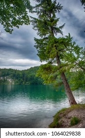 Lone tree near the Hohenschwangau lake