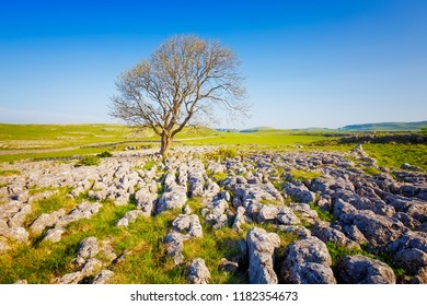 Lone tree on Limestone Pavement, Malham, Yorkshire Dales on Sunny day, UK.