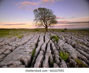 Lone tree on a limestone pavement, Yorkshire Dales