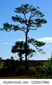 Lone tree on the marshland of Florida, USA