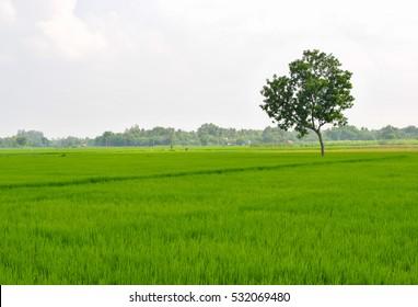 A lone tree in a Paddy Field - Shutterstock ID 532069480