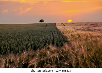 A lone tree and setting sun during the golden hour, Jutland, Denmark.