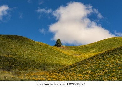 A lone tree sits among hills of wildflowers in spring with puffy white clouds in the background