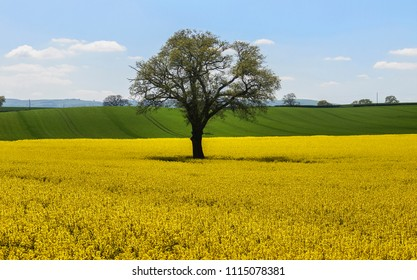 A lone tree sits in a field of canola or rapeseed plants blooming yellow in Shropshire, UK