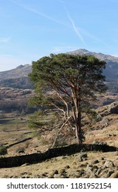 Lone tree standing in the Duddon Valley near Seathwaite in the English Lake District.