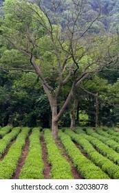 A lone tree standing in a tea field