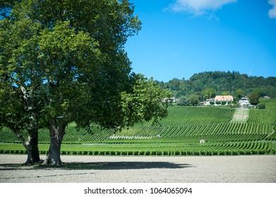 Lone tree in Switzerland