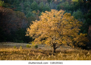 A lone tree with yellow leaves in Cade's Cove, Great Smoky Mountains.