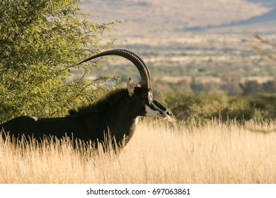 A lone trophy Sable bull walking in the grassland in the kalahari region in the northern cape province of south africa