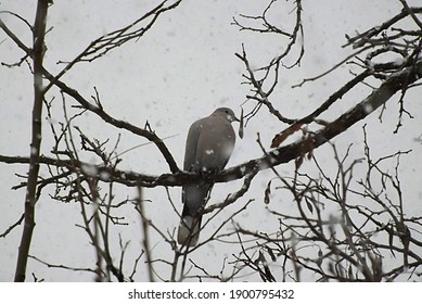 A lone turtledove sits on an acacia branch during a snowfall.